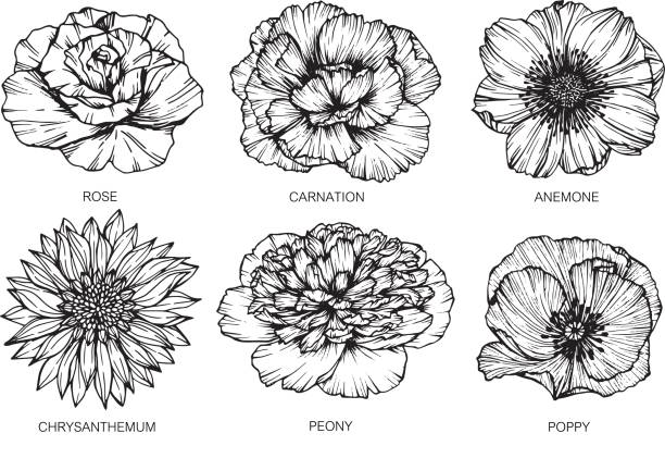 Anemone Flower Line Drawing : Royalty free anemone flower clip art vector images
