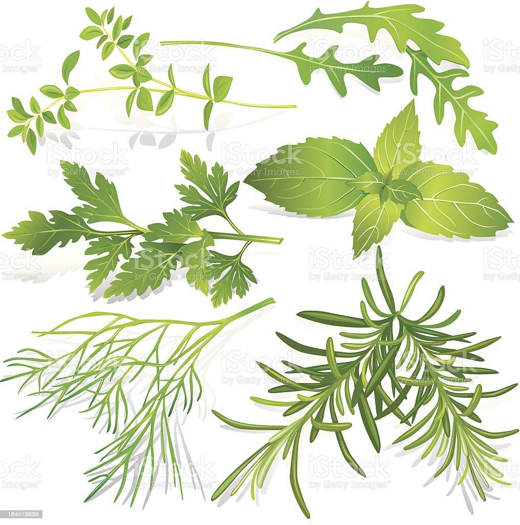 Collection of fresh herbs vector art illustration