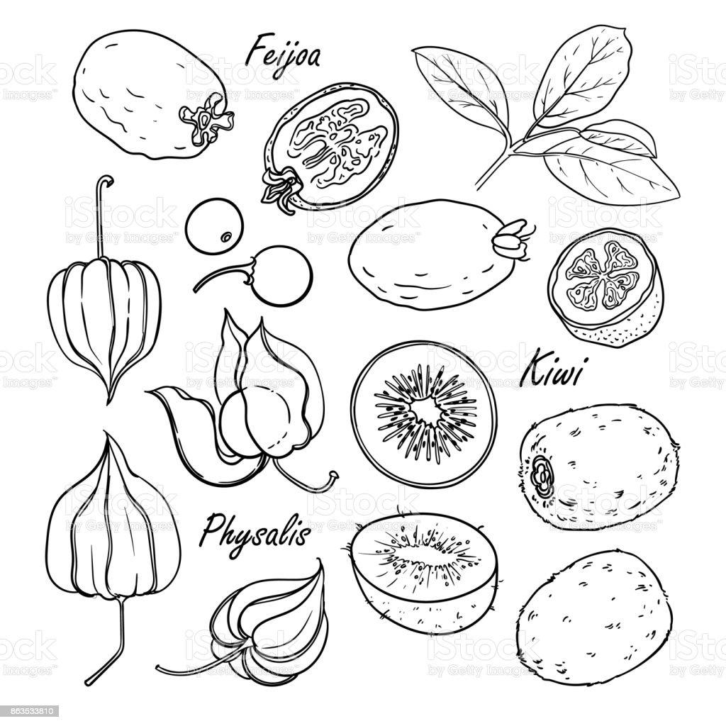 Colección de frutas: feijoa, kiwi, physalis aislado en blanco - ilustración de arte vectorial