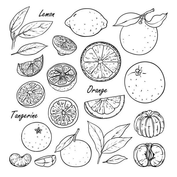 Collection of fruit: lemon, orange, tangerine isolated on white Set of vector citrus fruits: lemon, orange, tangerine. Hand drawn collection for design, isolated on white. Black lines sketch fruit drawings stock illustrations