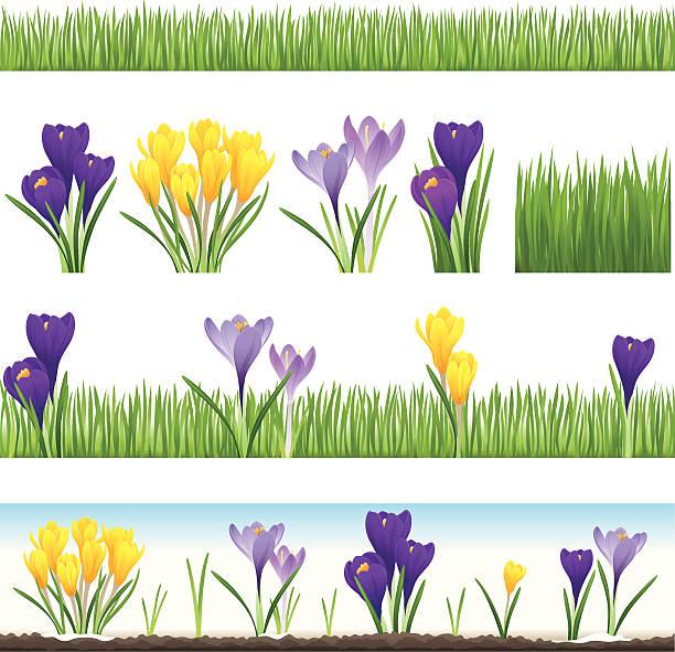 illustrations, cliparts, dessins animés et icônes de collection de l'herbe et crocus (homogènes - crocus