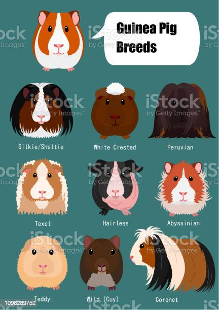 Collection of guinea pig vector id1096289752?b=1&k=6&m=1096289752&s=612x612&h=c fize9scp86s gfmosqzse8owceislgisqlhmrvexs=