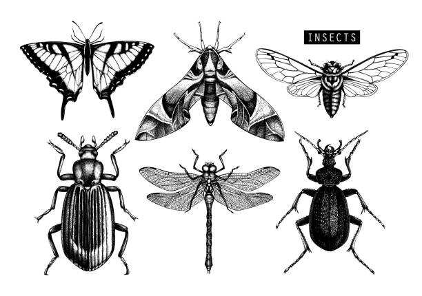 Collection of hand dawn insects Vector collection of high detailed insects sketches. Hand drawn butterflies, beetles, dragonfly, cicada, bumblebee illustrations on white background. Vintage entomological drawings. beetle stock illustrations