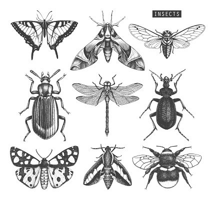 Vector collection of high detailed insects sketches. Hand drawn butterflies, beetles, dragonfly, cicada, bumblebee illustrations on white background. Vintage entomological drawings.