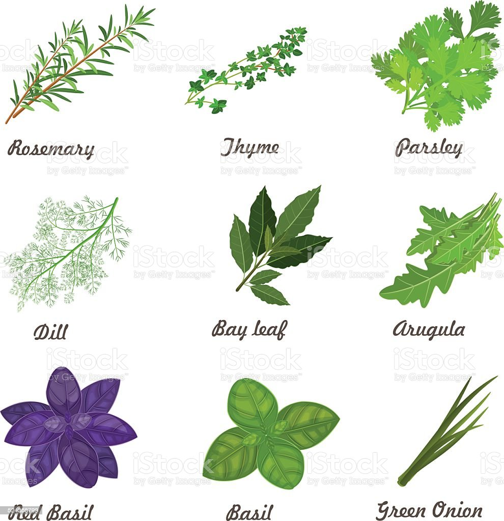 collection of herbs for you design vector art illustration
