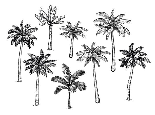 Collection of palm trees. Collection of palm trees. Ink sketch isolated on white background. Hand drawn vector illustration. Retro style set. lesser sunda islands stock illustrations