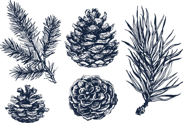 Collection of pinecones and coniferous branches ink illustrations. Pinecones and coniferous branches drawing isolated on white background. Ink illustration in vintage engraved style. Collection of pine forest elements. pine tree stock illustrations