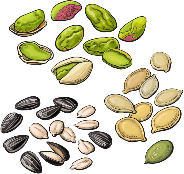 Collection of pistachio, sunflower and pumpkin seeds vector art illustration