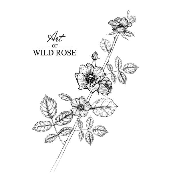 Collection of Rose Flower drawings.  Collection of Rose flowers by Hand drawn with line-art on white backgrounds. wild rose stock illustrations