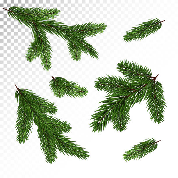 Collection of spruce / pine branches in a realistic style. New Year's decor. Isolated Vector. Eps10. A set of different Green, realistic branch of fir. Fir branches. Isolated on white. Christmas illustration.Vector. Eps10. pine tree stock illustrations