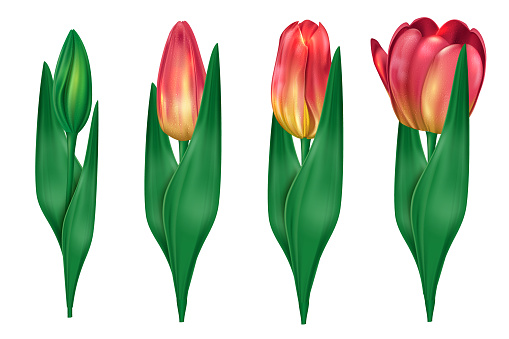 Collection of tulips which open up isolated on white background. Delicate tulips for the holiday of Svyatog Valentina and Mother's Day. Vector illustration