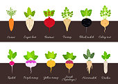 Set of different growing vegetables plants with root structure. Vector illustration in flat style