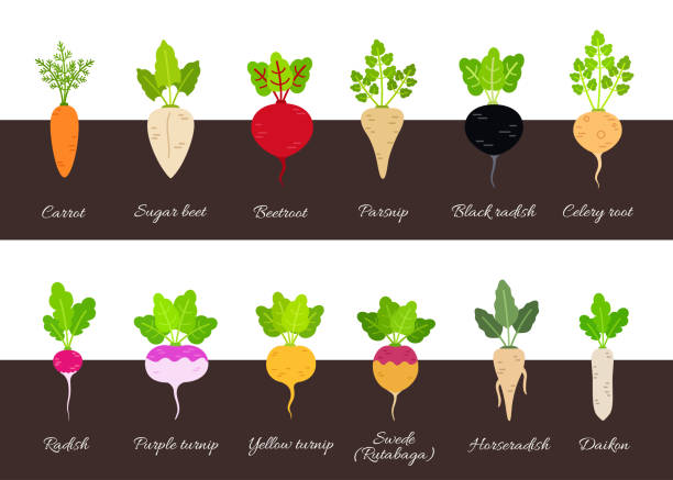 Collection of various growing root vegetables Set of different growing vegetables plants with root structure. Vector illustration in flat style horseradish stock illustrations
