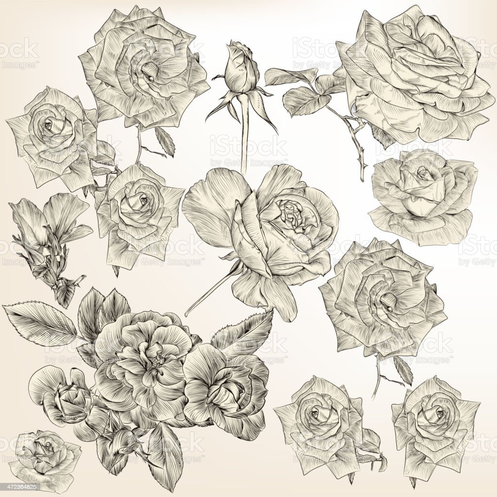 Collection of vector detailed roses flowers vector art illustration
