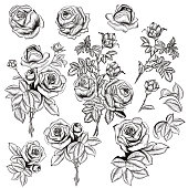 Collection of vector hand drawn roses for design in engraved style