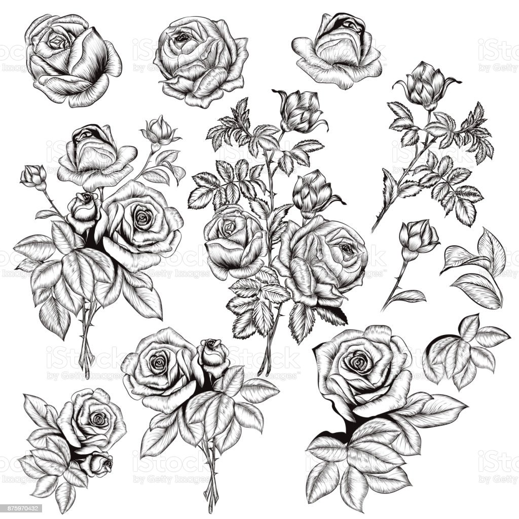 Collection of vector hand drawn roses for design in engraved style vector art illustration