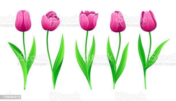 Collection of vector pink tulips with stem and green leaves set of vector id1206380310?b=1&k=6&m=1206380310&s=612x612&h=56quueuxbydts1zlwi 3y4dbuh1qwcpimto74bl456g=