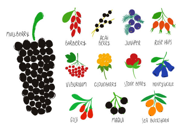 Collection Or Colorful Isolated Berries. Colorful forest set. Berry collection - barberry, mullberry, acai, juniper, goj, rose hip, viburnum, cloudberry, stone, honeysuckle, maqui, sea buckthorn. honeysuckle stock illustrations