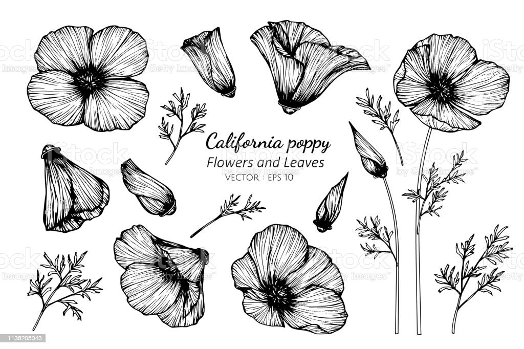 Collection Set Of California Poppy Flower And Leaves Drawing