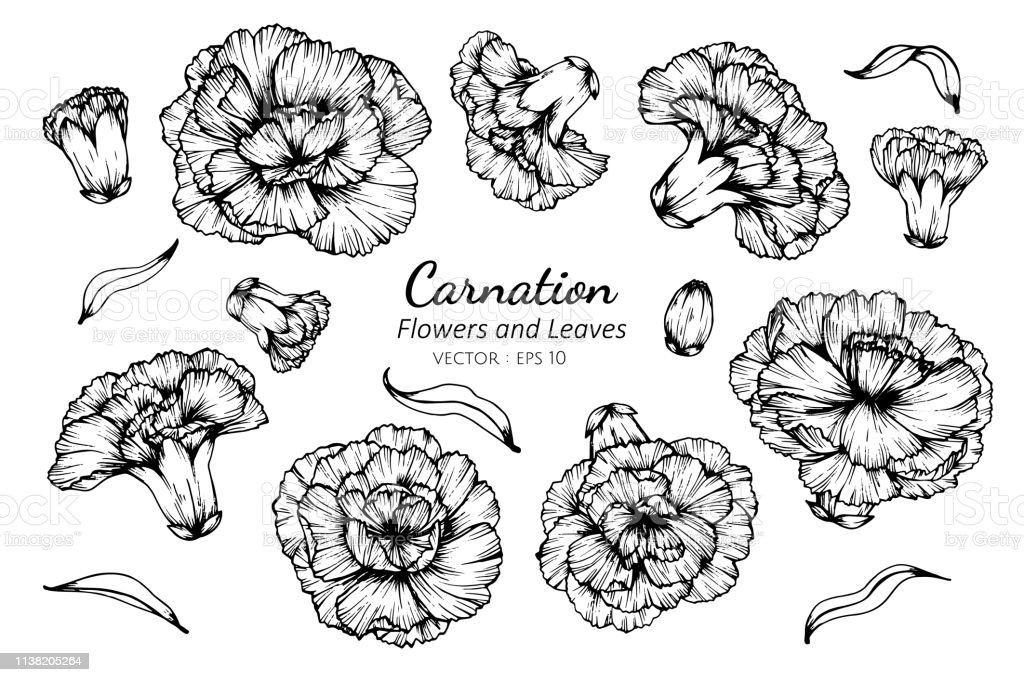 Collection set of carnation flower and leaves drawing illustration.
