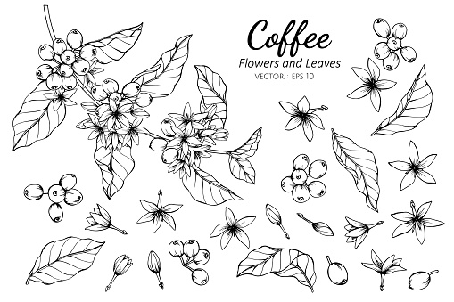 Collection set of coffee flower and leaves drawing illustration. clipart