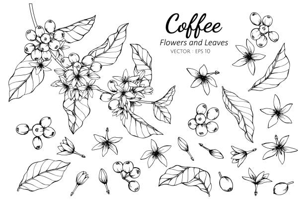 Collection set of coffee flower and leaves drawing illustration. Collection set of coffee flower and leaves drawing illustration. for pattern, logo, template, banner, posters, invitation and greeting card design. coffee crop stock illustrations