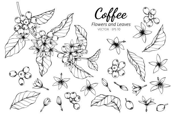 illustrazioni stock, clip art, cartoni animati e icone di tendenza di collection set of coffee flower and leaves drawing illustration. - caffè