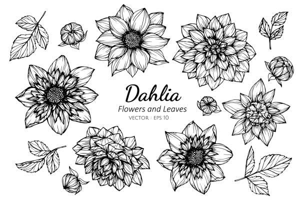 stockillustraties, clipart, cartoons en iconen met verzameling set van dahlia bloem en bladeren tekening illustratie. - dahlia