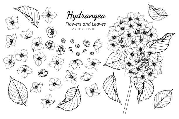 stockillustraties, clipart, cartoons en iconen met collectie set van hortensia bloem en bladeren tekening illustratie. - hortensia