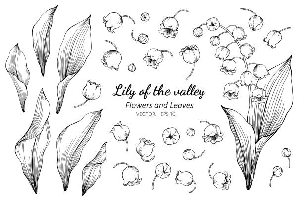 Collection set of lily of the valley flower and leaves drawing illustration. Collection set of lily of the valley flower and leaves drawing illustration. for pattern, logo, template, banner, posters, invitation and greeting card design. lily of the valley stock illustrations