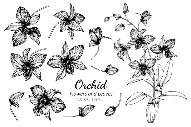 Collection set of orchid flower and leaves drawing illustration. Collection set of orchid flower and leaves drawing illustration. for pattern, logo, template, banner, posters, invitation and greeting card design. orchid stock illustrations