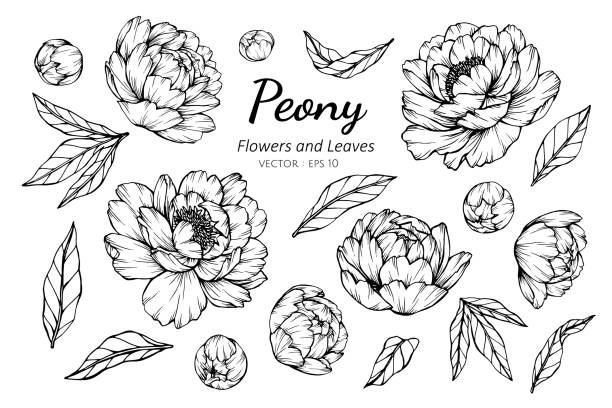 Collection set of peony flower and leaves drawing illustration. Collection set of peony flower and leaves drawing illustration. for pattern, logo, template, banner, posters, invitation and greeting card design. flowers tattoos stock illustrations