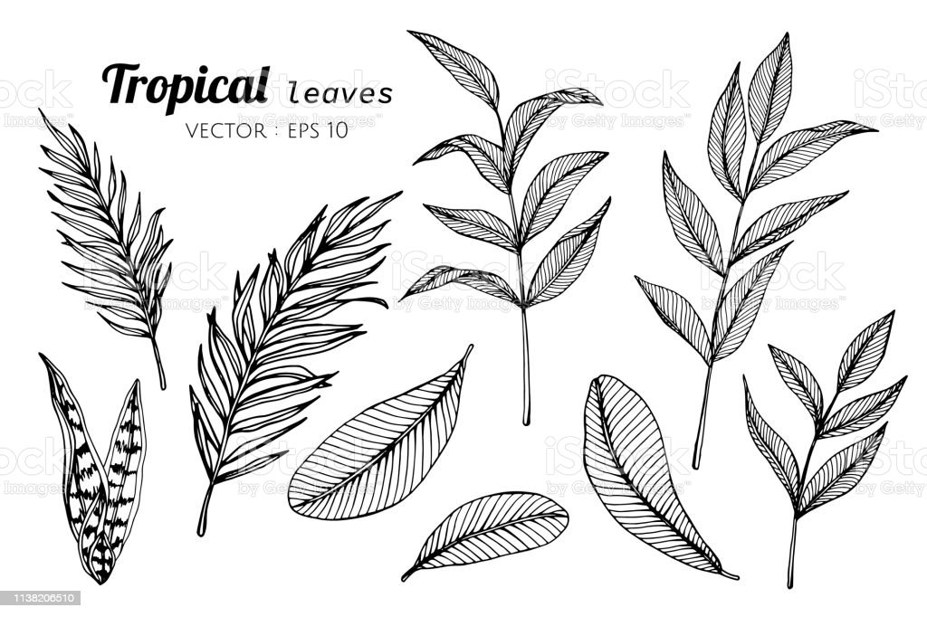 Collection Set Of Tropical Leaves Drawing Illustration Stock Illustration Download Image Now Istock Here presented 61+ tropical leaves drawing images for free to download, print or share. collection set of tropical leaves drawing illustration stock illustration download image now istock