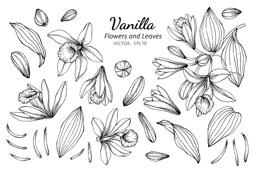 Collection set of vanilla flower and leaves drawing illustration.