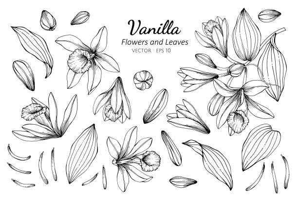 stockillustraties, clipart, cartoons en iconen met collectie set van vanille bloem en bladeren tekening illustratie. - vanille