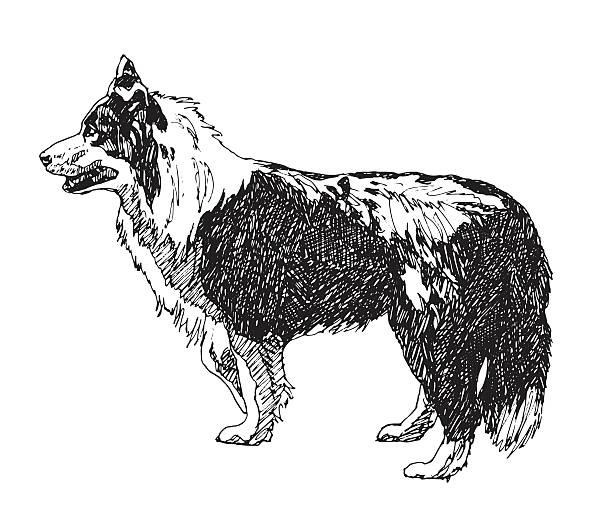 rau collie hund. vektor - collie stock-grafiken, -clipart, -cartoons und -symbole