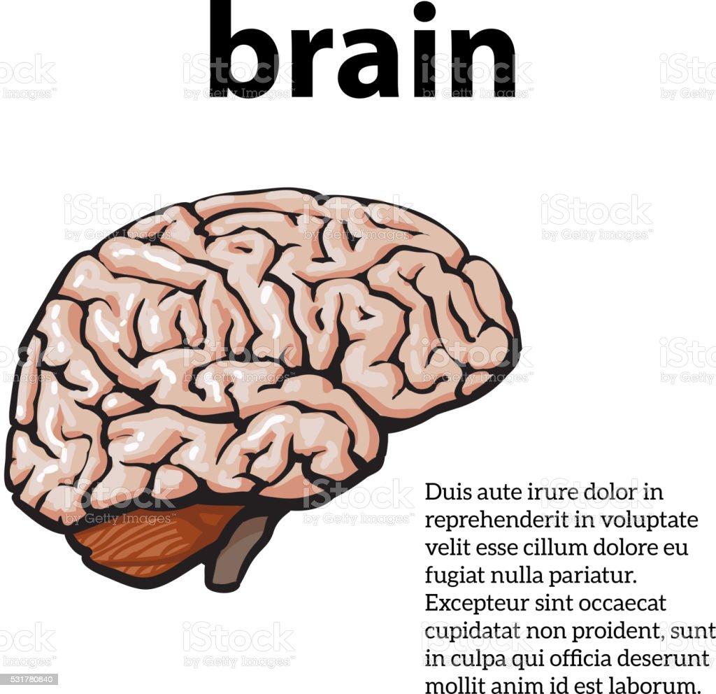 Colore Primo piano di un cervello umano - illustrazione arte vettoriale