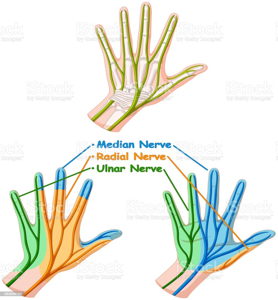 Color Diagram Showing Hand Nerve Stock Vector Art & More Images of ...