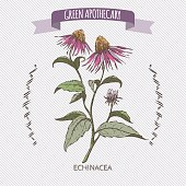 Color Echinacea aka purple coneflower sketch. Green apothecary series. Great for traditional or Ayurvedic medicine design.