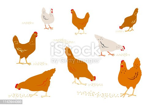 Color graphic set, collection, drawn rural hens or chickens, walking in different poses, pecking grain. Vector illustration, isolated on white background.