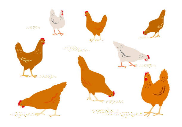 Color graphic set, collection, drawn rural hens or chickens, walking in different poses, pecking grain. Vector illustration, isolated on white background. Color graphic set, collection, drawn rural hens or chickens, walking in different poses, pecking grain. Vector illustration, isolated on white background. poultry stock illustrations