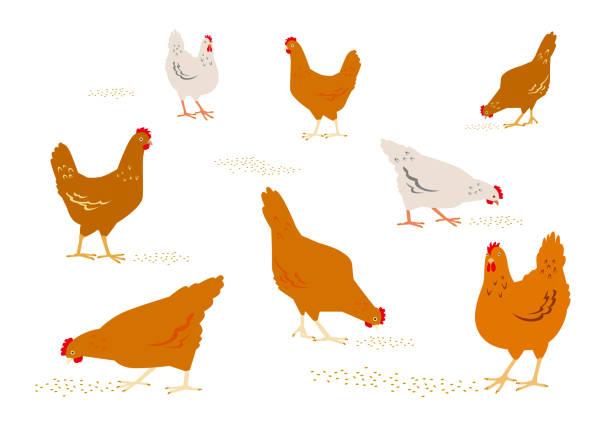 bildbanksillustrationer, clip art samt tecknat material och ikoner med färg grafisk uppsättning, insamling, ritade landsbygden höns eller kycklingar, promenader i olika poser, picka spannmål. vektor illustration, isolerad på vit bakgrund. - fjäderfä