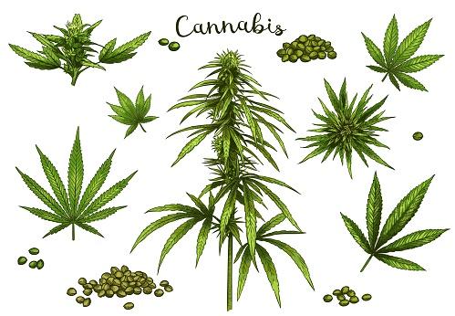 Color hand drawn cannabis. Green hemp plant seeds, sketch cannabis leaf and marijuana bud vector illustration set