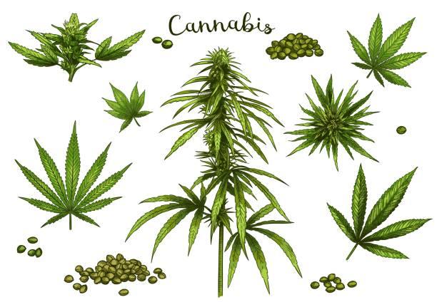 farbe handgezeichnetes cannabis. grüner hanf pflanzensamen, skizze cannabis blatt und marihuana knospe vektor illustration set - blütenstand stock-grafiken, -clipart, -cartoons und -symbole