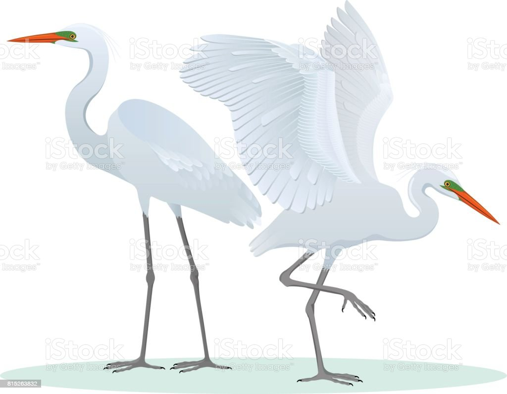 Color set, illustration with two different, detailed drawings, Great Egrets. - illustrazione arte vettoriale