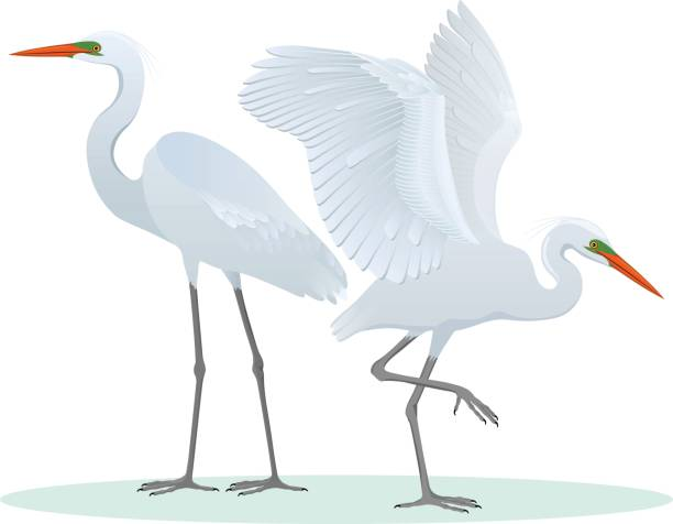 Color set, illustration with two different, detailed drawings, Great Egrets. Color set, illustration with two different, detailed drawings, Great Egrets of the Ardea alba species. Vector, isolated on background. heron stock illustrations