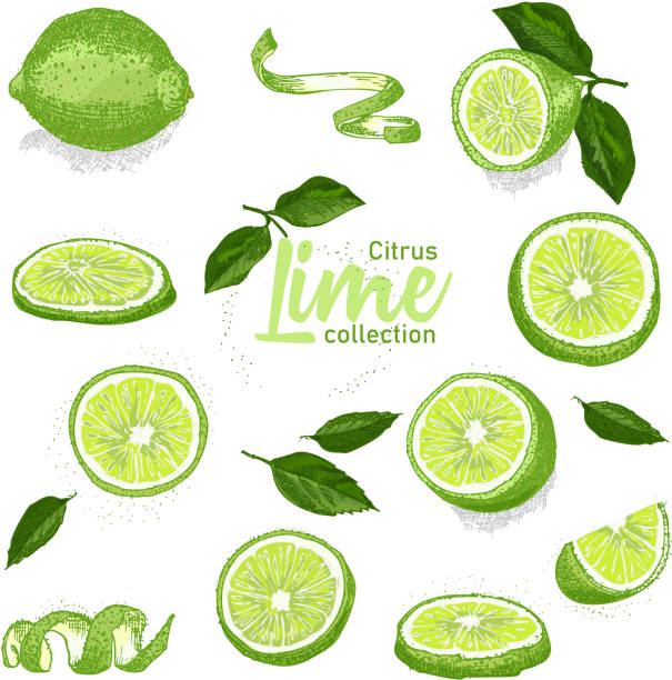 Color set of hand drawn tropical citrus fruit. Lime. Ink sketch style. Good idea for templates menu, recipes, greeting cards. Color set of hand drawn tropical citrus fruit. Lime. Ink sketch style. Good idea for templates menu, recipes, greeting cards. Vector illustration lime stock illustrations