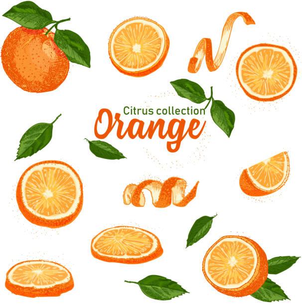 illustrations, cliparts, dessins animés et icônes de jeu de couleurs de fruits agrumes tropicaux dessinés à la main. orange. style de croquis d'encre. bonne idée pour les modèles menu, recettes, cartes de souhaits. - orange