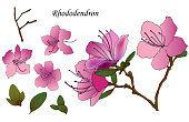 Hand sketched set of rhododendron Ledebour. It is individual flowers and leaves and branch. Isolated pink color flowers of maralnik for postcard, print, decoration, backgrond. endemic of Altai