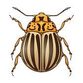Colorado potato beetle (Leptinotarsa decemlineata).